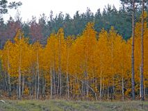 Jesieni brzozy las Fotografia Royalty Free