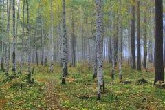 jesienią brzozy las Obrazy Royalty Free