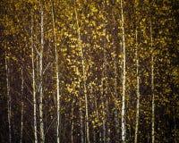 Jesieni brzozy las, tło Obrazy Stock