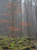 Jesieni bukowego drzewa las z głazów kamieniami zakrywającymi bujny gr Obraz Stock
