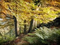 Jesieni bukowi drewna z paprociami zdjęcia stock