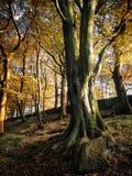 Jesieni bukowi drzewa Obraz Royalty Free