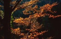 jesienią bukowy drzewo Obrazy Stock