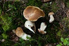 Jesieni Cep pieczarki Dzika cent babeczka, cep, porcino lub porcini w lesie, fotografia stock