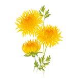 Jesieni chryzantemy kwiat Fotografia Royalty Free