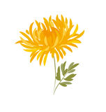 Jesieni chryzantemy kwiat Zdjęcia Royalty Free