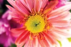 Jesieni chryzantemy ogrodowy flower zdjęcia stock