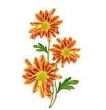 Jesieni chryzantemy piękni kolorowi kwiaty odizolowywający na whit Obraz Stock