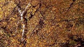 Jesieni colours na brzoz drzewach wzdłuż roztoki w Szkocja podczas jesieni zbiory