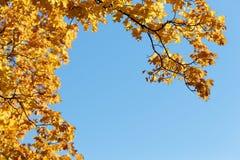 Jesieni copyspace Nieba i klonu gałąź obrazy royalty free