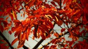 Jesieni czereśniowego drzewa liście Obrazy Royalty Free
