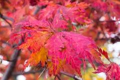 Jesieni czerwień i żółci liście w lesie możemy być tłem Obrazy Stock