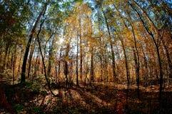 Jesieni czerwieni las Zdjęcia Stock