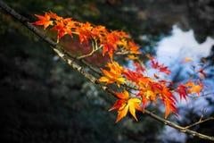 Jesieni czerwieni liść fotografia royalty free