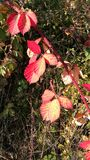 Jesieni czerwieni liście Fotografia Stock