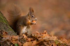 Jesieni czerwona wiewiórka Zdjęcia Stock