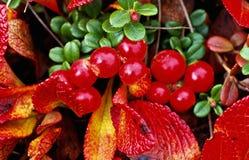 jesienią czerwone jagody Zdjęcie Royalty Free
