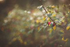 Jesieni czerwony głogowy makro- Obraz Royalty Free