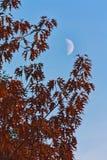 Jesieni czerwony klonowy drzewo w wieczór Zdjęcie Royalty Free