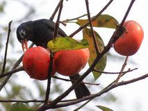 Jesieni czerwony persimmon przyciąga wiele ptaki Fotografia Royalty Free
