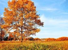 Jesieni dębowy drzewo w jesień pogodnym wieczór zaświecał jaskrawym światło słoneczne jesieni krajobrazem Zdjęcie Stock