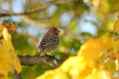 Jesieni Domowy Finch Obraz Stock