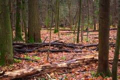 Jesieni drewno z puszków przegniłymi drzewami Obrazy Royalty Free