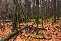 Jesieni drewno z puszków przegniłymi drzewami Obraz Royalty Free