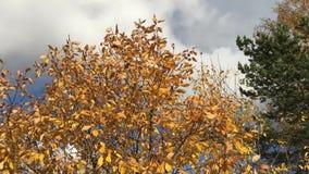 Jesieni drzewa kiwa w wiatrze zbiory