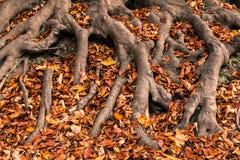 Jesieni drzewa korzenie Zdjęcia Stock