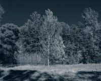 Jesieni drzewa na słonecznym dniu w deciduous lasu monochromu ph Obrazy Royalty Free