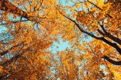 Jesieni drzewa - pomarańczowi jesieni drzew wierzchołki przeciw niebieskiemu niebu Jesień naturalny widok jesieni drzewa Zdjęcie Stock