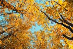Jesieni drzewa - pomarańczowi jesieni drzew wierzchołki przeciw niebieskiemu niebu Jesień naturalny widok jesieni drzewa Zdjęcia Royalty Free