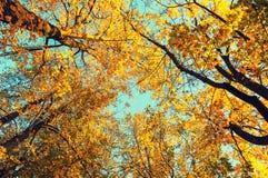 Jesieni drzewa - pomarańczowi jesieni drzew wierzchołki przeciw niebieskiemu niebu Jesień naturalny widok jesieni drzewa Fotografia Stock