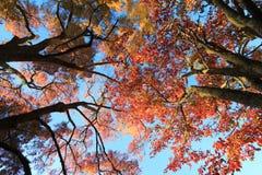 Jesieni drzewa, przyglądający w górę liści przy spod spodu fotografia stock