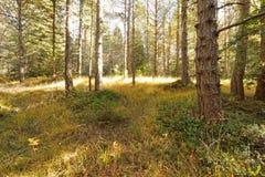 Jesieni drzewa w lesie Zdjęcia Royalty Free
