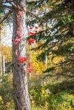 Jesieni drzewna barkentyna Zdjęcie Royalty Free