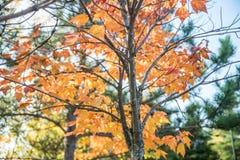Jesieni drzewna barkentyna Obrazy Royalty Free