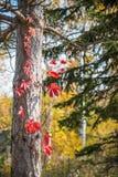 Jesieni drzewna barkentyna Obraz Royalty Free