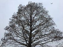 Jesieni drzewna sylwetka z ptasim lataniem Wron siedzieć Odjeżdżający ptasi latanie Zdjęcia Stock