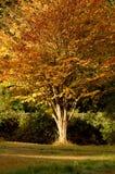 jesienią drzewo Zdjęcia Royalty Free