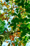 jesienią drzewo Fotografia Stock