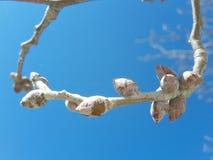 jesieni drzewo bez liści w suuny dniu z niebieskiego nieba tłem, Obrazy Royalty Free