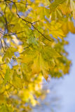 jesienią drzewo klonowy zdjęcie royalty free