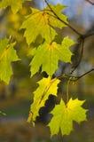 jesienią drzewo klonowy Fotografia Stock