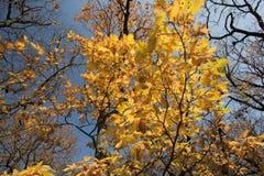 Jesieni drzewo, kolorów żółtych liście Zdjęcie Stock