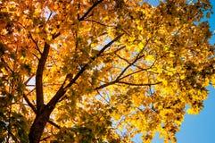 Jesieni drzewo na niebieskiego nieba tle Fotografia Royalty Free