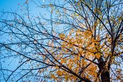 Jesieni drzewo na niebieskiego nieba tle Zdjęcia Royalty Free