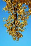 Jesieni drzewo na niebieskim niebie 2 Obraz Royalty Free