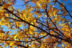 Jesieni drzewo na niebieskim niebie 3 Zdjęcie Royalty Free